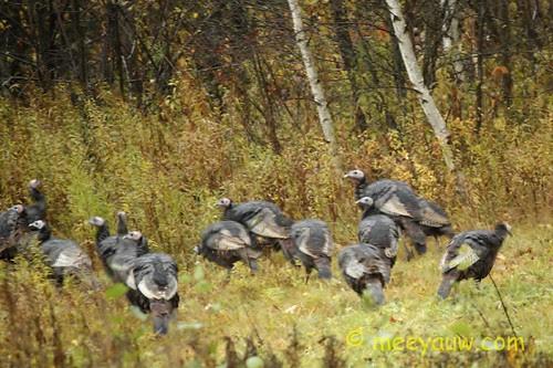 Turkeys Out Back   01.jpg