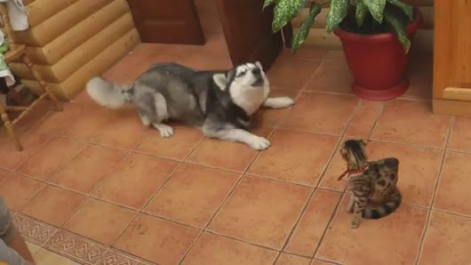 Husky Tries REALLY, REALLY Hard to Play with Confused Cat