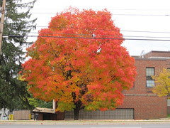 Autumn maple (2)