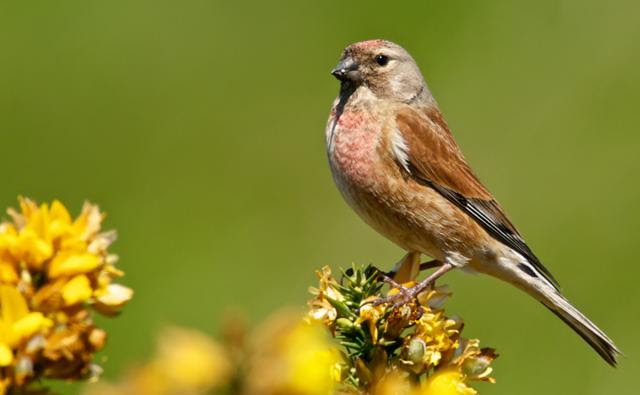 Image result for threatened linnet images