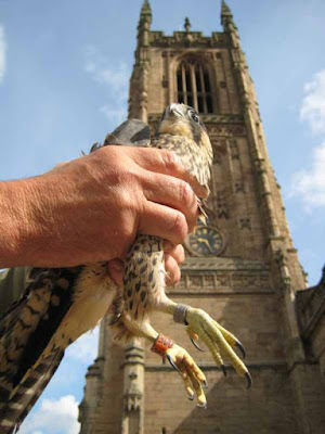 Juvenile 005 shows us his talons after being captured from an unsuccessful fledge from the tower of Derby Cathedral, England