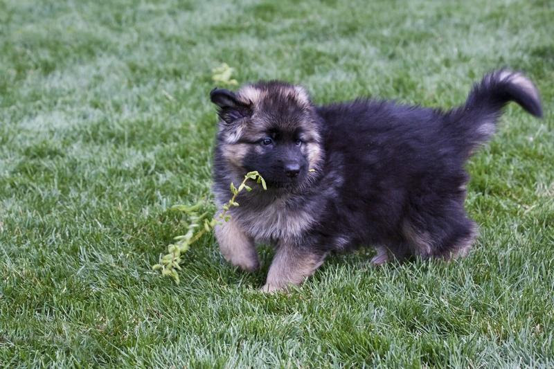 Adorable Long Haired German Shepherd Puppies Dogs For Sale In Scotland UK