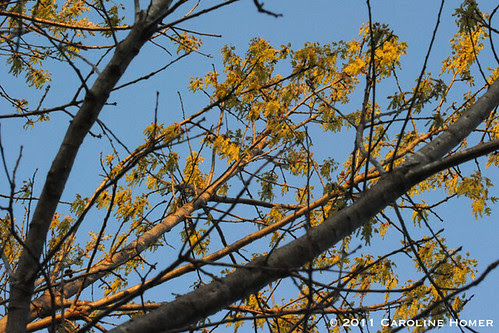 Texas red oak pollen