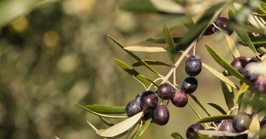 Olive Leaf Extract & Diabetes