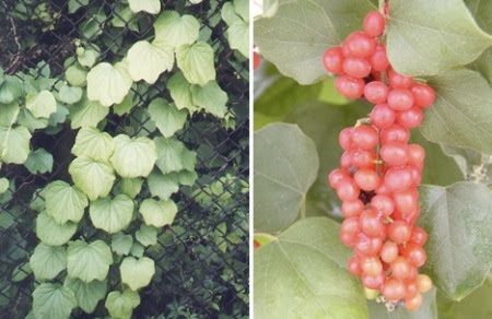 الصور من paradisegardentx.com و missouriplants.com