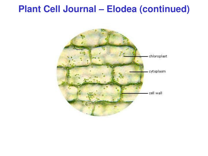 plant cell journal elodea continued n
