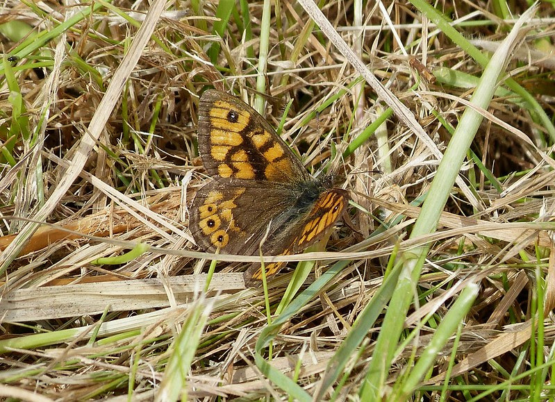 27438 - Wall Brown, Marloes