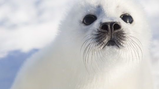 Canadian Prime Minister Justin Trudeau: End The Canadian Harp Seal Hunt
