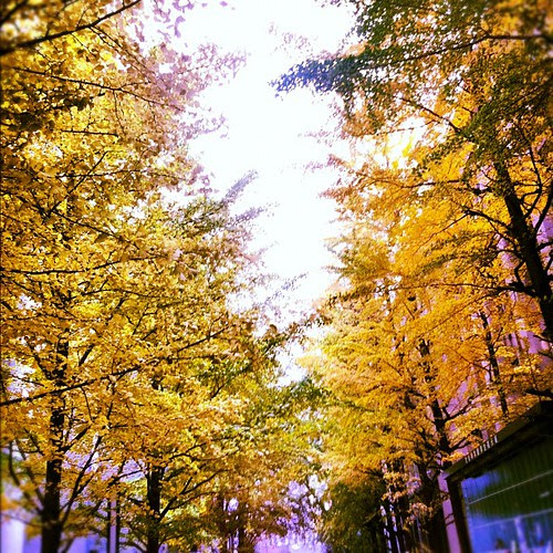 The golden ginkgo leaves of autumn reflect my angst-filled soul.