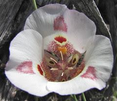 red spot venustus