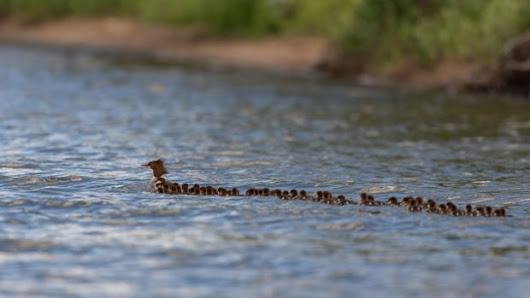 'Mom of the year': Photographer captures images of mama duck with 76 babies | CBC Radio