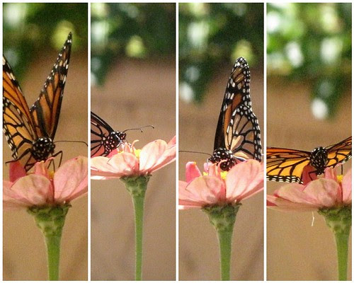 Monarch Butterfly Mosaic