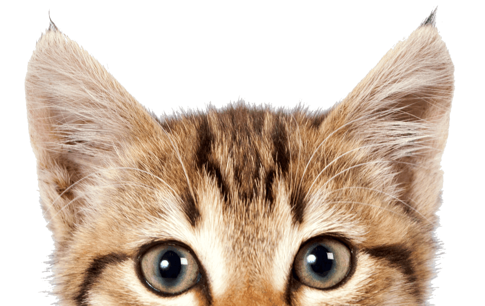 Kitten If Cats Could Talk: The Meaning of Meow Pet sitting ...