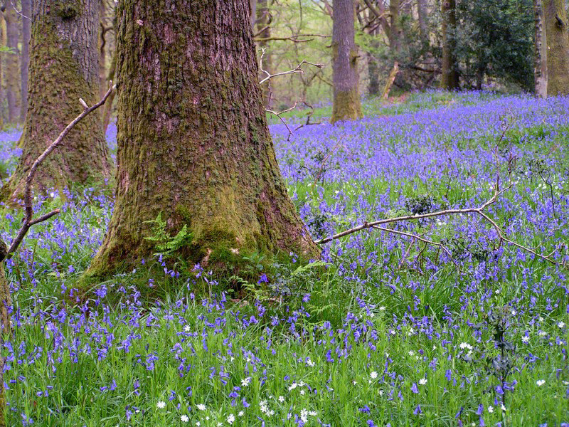 File:May Bluebells.jpg