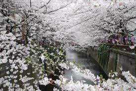 The beauty of Sakura~