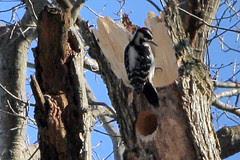 hairy woodpecker 019