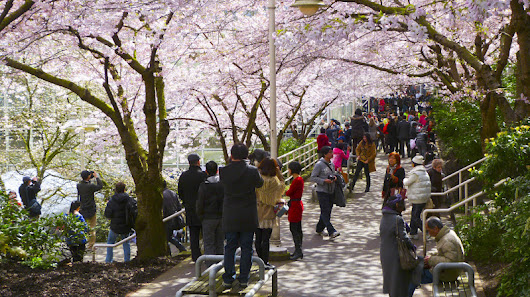 Vancouver Park Board launches map showing best places to find flowering cherry blossom trees in city