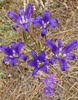 elegant clusterlily - brodiaea elegans