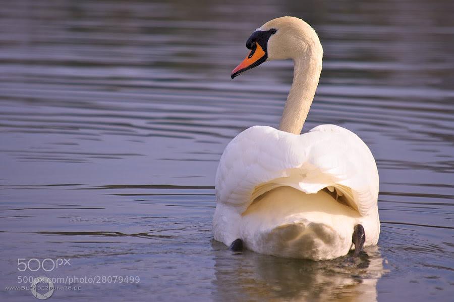 * White Swan* by Nico Frische (Blende2punkt8)) on 500px.com