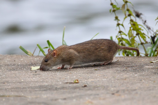 4 Ways To Prevent Rats from Entering Your Garden | Pestbusters