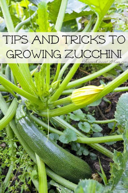Tips and Tricks to Growing Zucchini | Forever Green Mom