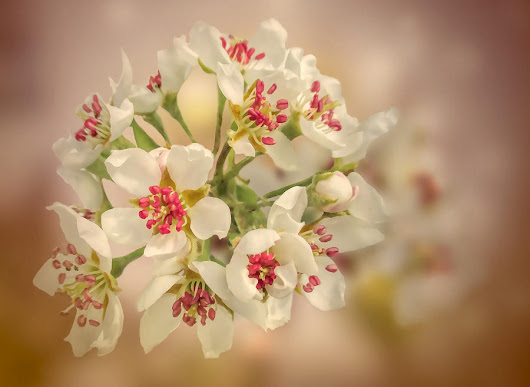 Wild Pear Blossom by Valerie Anne Kelly