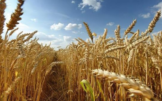4 Years Of The Bear Wheat Market Are Over | Grain Handling & Storage Trends