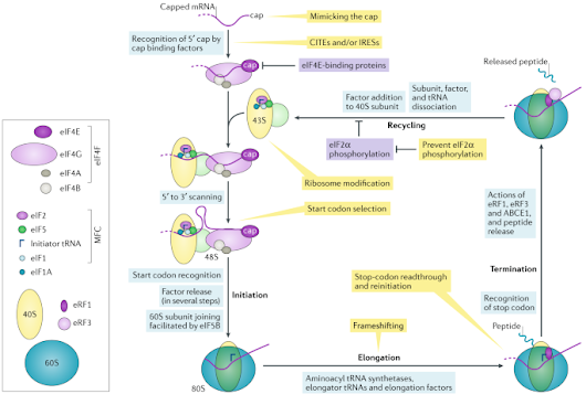 Viral RNA structure-based strategies to manipulate translation | Nature Reviews Microbiology