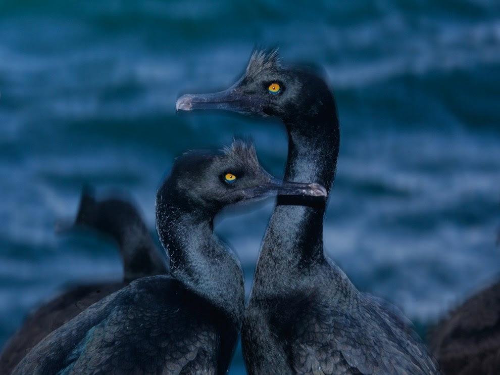 Coastal cormorants, Namibia