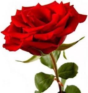 Hoy Te Regalamos Una Rosa Roja Sloyucom