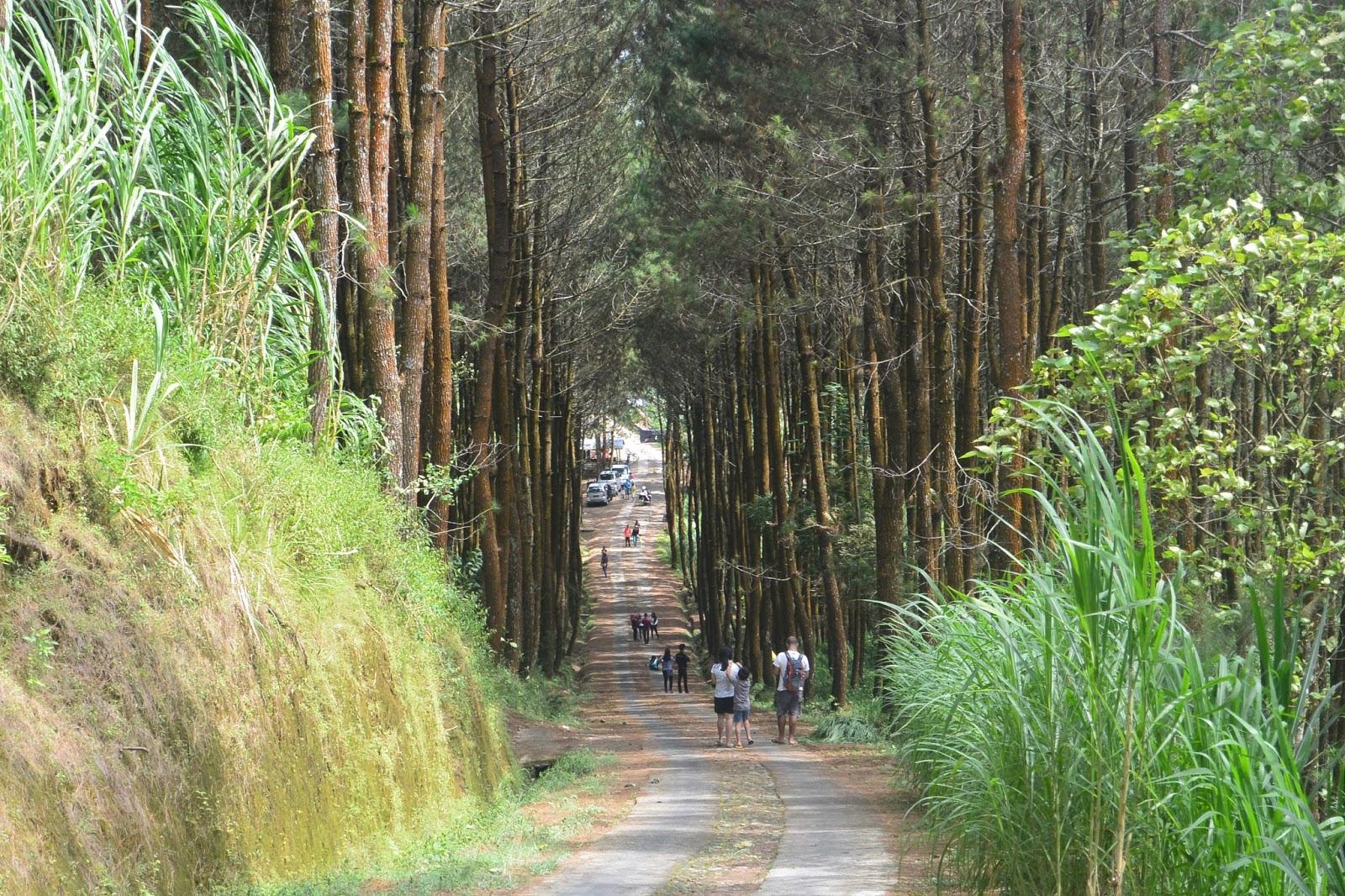 Harga Tiket Masuk dan Lokasi Hutan  Pinus  Kragilan Spot