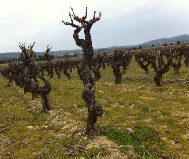 Minervois Vines