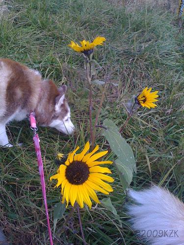 IMG_4380 Ammy and Sunflowers