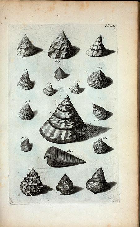 Trochi. A. B. Trochus primus, sive maculosus; C. Trochus secundus; D. Trochus tertius, sive Papuanus, ut et Trochus longævus; E. Trochus quartus, sive Labeo; Fig. 1-11. sunt omnes diversæ species Trochorum; Fig. 12. Dolium Matinum.