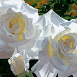 "Brian Davis Hand Signed and Numbered Limited Edition Canvas Giclee:""White Roses Aglow II"" - New Arrivals"