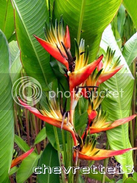 http://i1252.photobucket.com/albums/hh578/chevrette13/Guadeloupe/DSCN6524Copier_zps518d2ea0.jpg