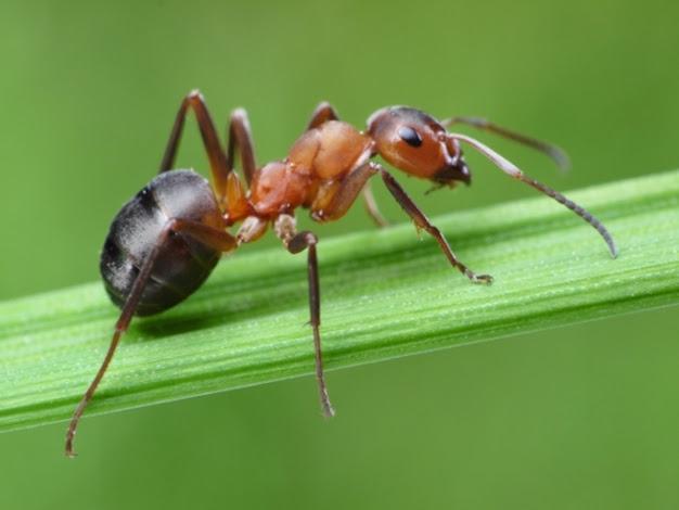 Resultado de imagen para hormiga jardinera