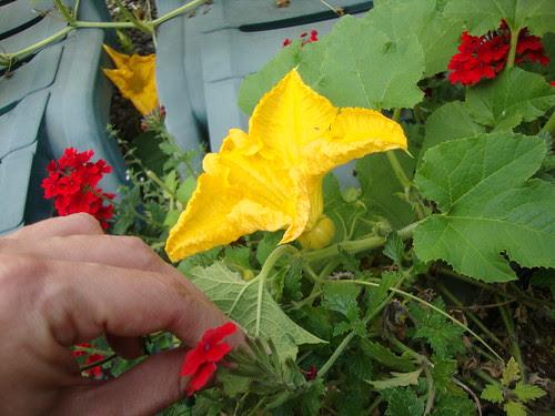 8/26/12:  female flower G opened!