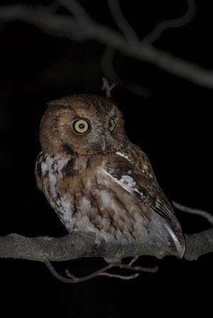 Eastern Screech Owl Red Phase.