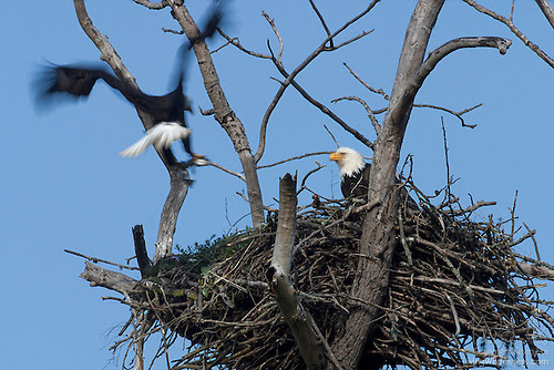 Pair of Bald Eagles on Nest, Puyallup, Washington