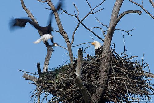 Pair of Bald Eagles on Nest, Puyallup, Washington