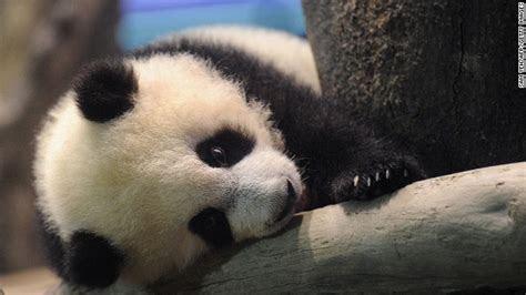 yuan zai panda super imut  tinggal  kebun binatang