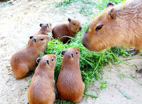 Capybara As House Pet, Training Your Capybara