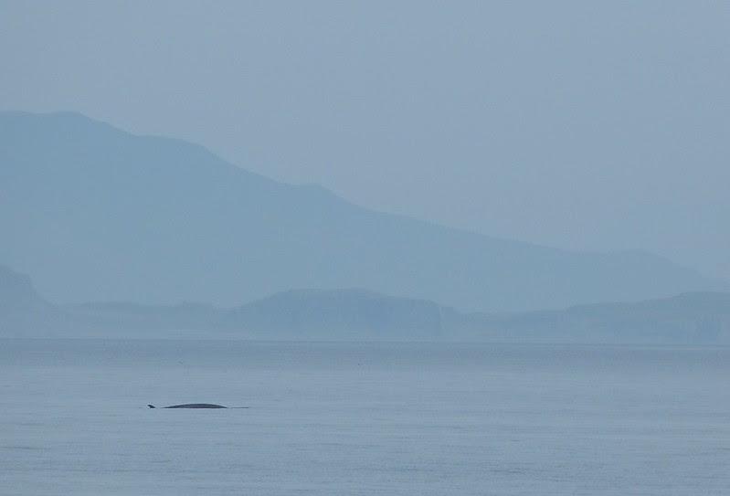 P1050478 - Minke Whale, Isle of Mull