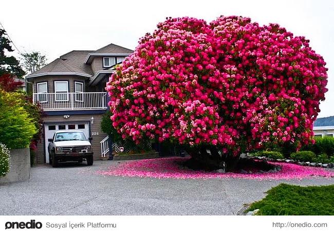 3. Kanada'da bulunan 125 yaşındaki ormangülü ağacı