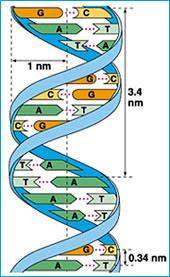 ADN de doble hélice