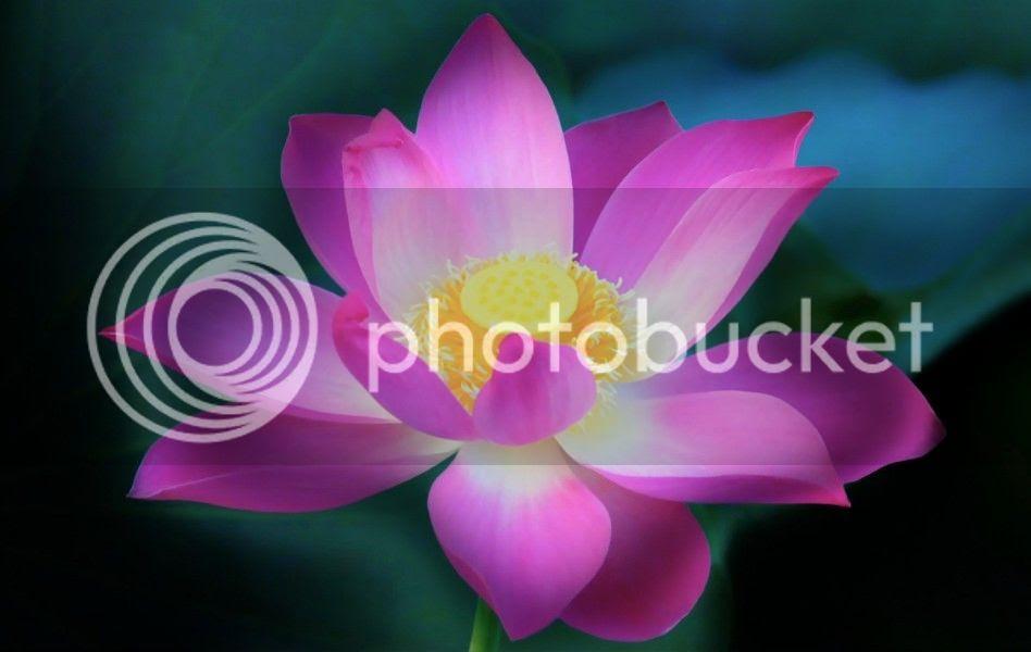 http://i46.photobucket.com/albums/f116/Du_Lich_Hoa_Sen/HOA%20SEN/hoasenhongdep_zps45ae972e.jpg