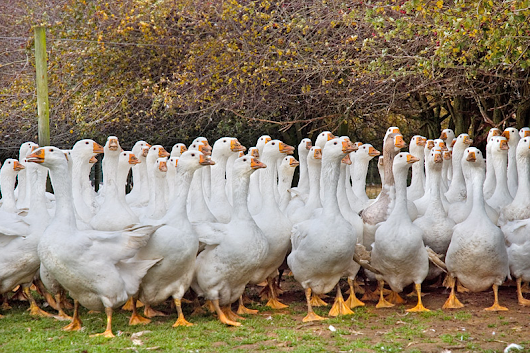 Do you Know Where Your Geese Are? -