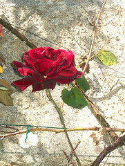rose,15 juin 2005
