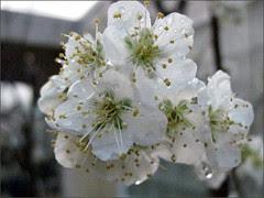 Santa Rosa Plum blossoms
